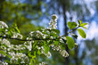 Bird Cherry branch  against blur background