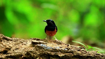 Male White-rumped shama  in nature
