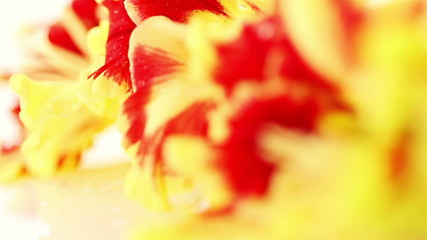 Gladiolus. Red-Yellow Flowers