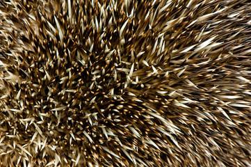 hedgehog spikes