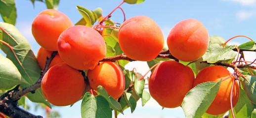 Les beaux abricots