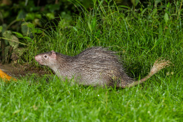 Full body of Nocturnal animals Brush-tailed Porcupine