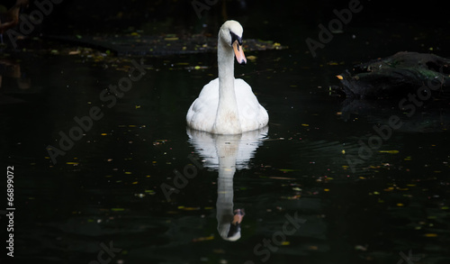 Fotobehang Swan floating on the water