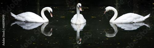 Fotobehang Swan floating on the water