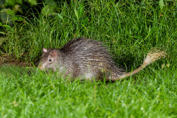 Nocturnal animals Brush-tailed Porcupine(Atherurus macrourus)