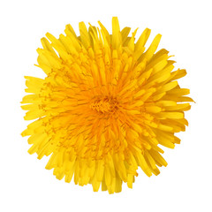 Bright beautiful yellow dandelion