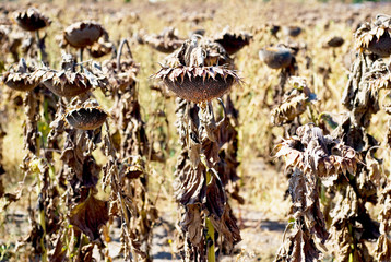 Dry Sunflowers