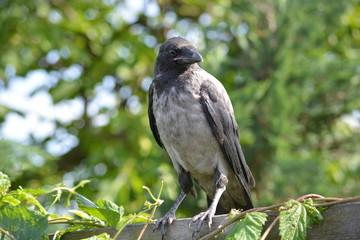 Jungvogel / junge Nebelkrähe