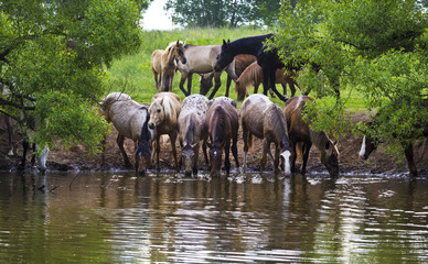 The herd of horses are drinking