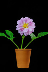 Dahlia in a Flower Pot