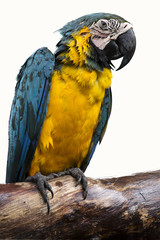 Close up Macaw