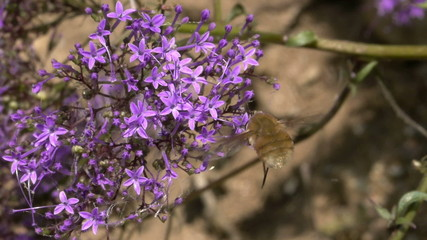 dipterous flying among flowers