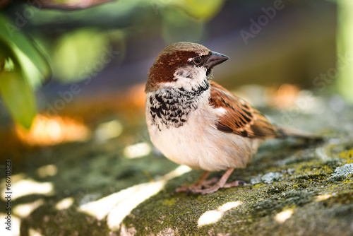 canvas print picture Haussperling - Spatz