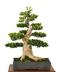 Buchsbaum als Bonsai Baum