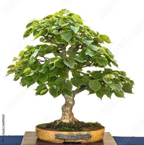 gamesageddon alte chinesische ulme als bonsai baum. Black Bedroom Furniture Sets. Home Design Ideas