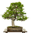 canvas print picture - Buche als Bonsai Baum
