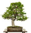Buche als Bonsai Baum