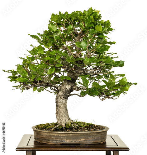 canvas print picture Buche als Bonsai Baum