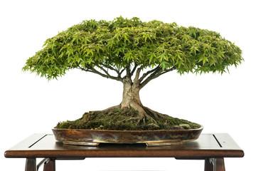 Ahorn als Bonsai Baum