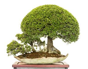 Chinesische Ulmen als Bonsai Bäume