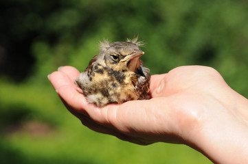 Young Fieldfare bird (Turdus pilaris) bird in the hand