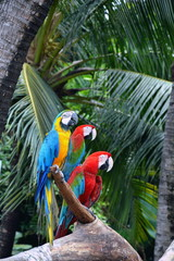 Macaws on the log