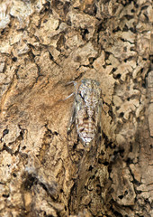 Cicada on an Olive tree
