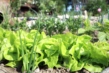 Young lettuce and celery in eco garden