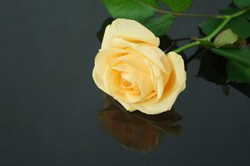 róża na czarnym tle