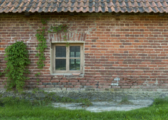 The old brick wall with a window and wild grapes