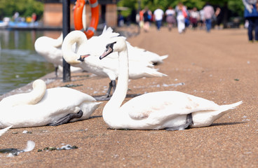 White swans on the embankment in London. England.