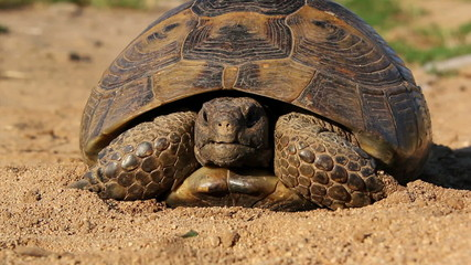 Spur-thighed tortoise (testudo graeca ibera)