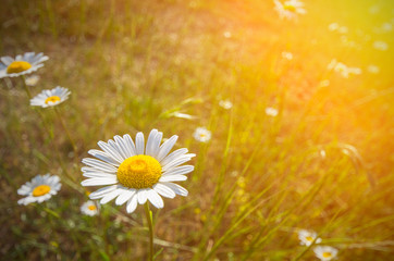 Daisy on a meadow and the sun