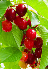 Red cherries in summer garden.