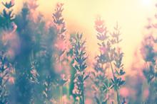 Vintage Lavendel Sonnenuntergang
