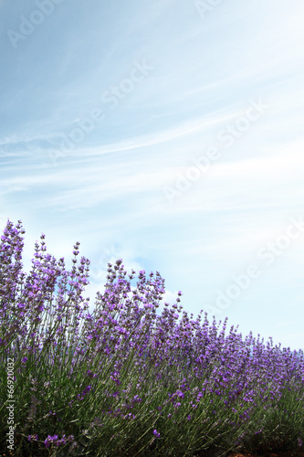 Fototapeta Lavender fields against blue sky