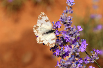 White butterfly on blooming lavender flowers closeup