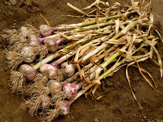 fresh harvested home grown garlic heap on the ground