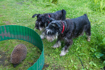 two zwergshcnauzer dogs and hedgehog