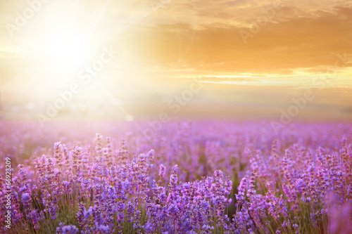 Fotobehang Cultuur Sunset over a lavender field.