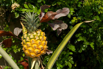 young pineapple growing