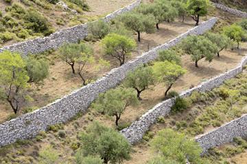 Olivenbäume auf Karpathos, Griechenland