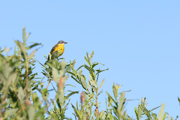 Yellow Wagtail, [Motacilla flava]