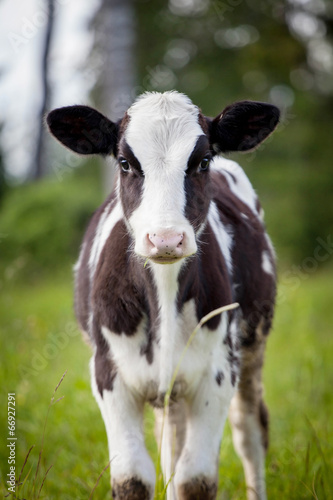 Fotobehang Koe Newborn calf on green grass