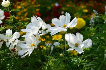 Maguerite floral