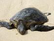 Hawaiian Sea Turtle rest on beach