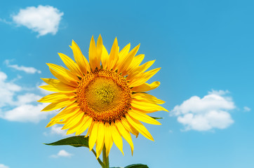 golden sunflower and blue sky as background