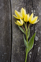 yellow tulips on wooden surface