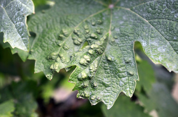 vine grape leaf disease