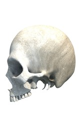 Skull with no Jaw Isolated